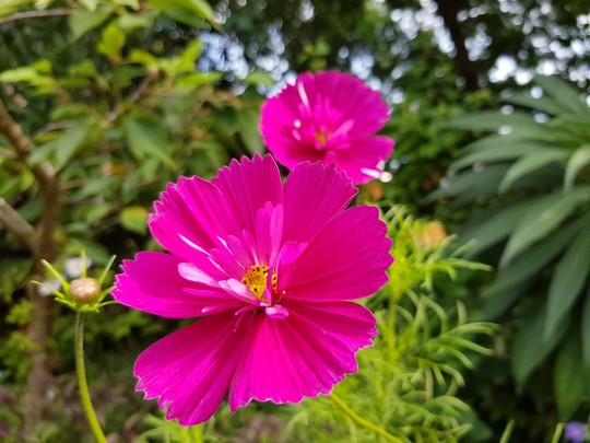 Pink Cosmos..... (Cosmos bipinnatus (Cosmos))
