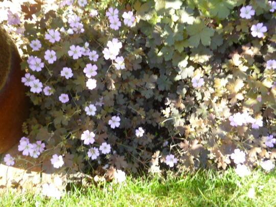 Geranium Dusky Rose (perennial)