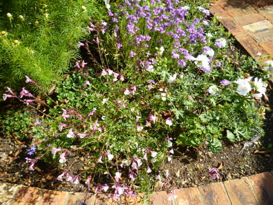Salvia Dyson's Joy with purple Nemesia