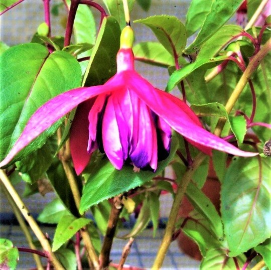 Fuchsia 'Peppermint Stick'