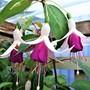 Lilac_princess