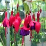Unknown 'climbing' Fuchsia which has reached 8 feet tall.