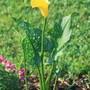 Garden_pics_yellow_calla