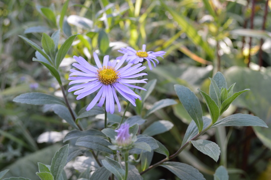 Aster Monch (Aster Monch)