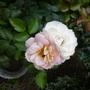 Rosa 'Champagne Moment' (Rosa  'Champagne Moment')