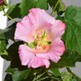 Hibiscus Creole Lady sdlg (Hibiscus rosa-sinensis (Chinese Hibiscus))