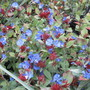 Ceratostigma plumbaginoides (Update for my File) (Ceratostigma plumbaginoides)