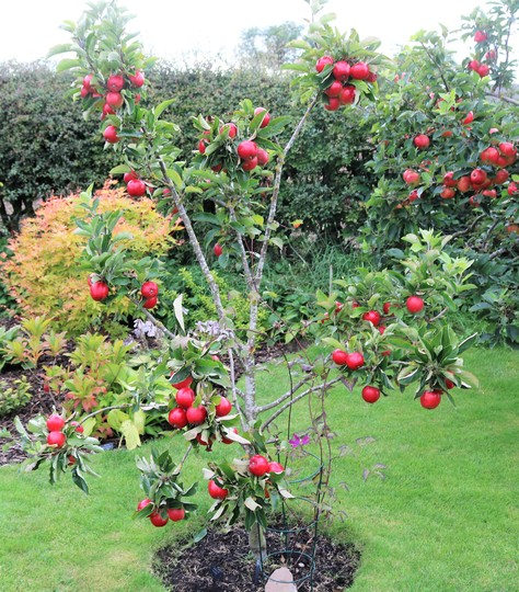 Malus 'Katy' struggling to support her fruit.