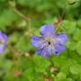 Geranium Buxton's Blue (Geranium Buxton's Blue)