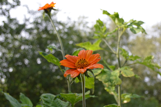 Tithonia (Tithonia rotundifolia (Mexican sunflower))