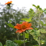 Tithonia rotundifolia (Mexican sunflower)