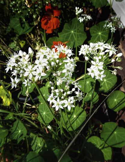 Garlic Chives Flowering (Allium tuberosum (Garlic chives))