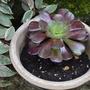 Aeonium arboreum, Velours (Aeonium arboreum, Velours)