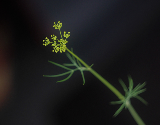 Dill just before flowering (Anethum graveolens (Dill))