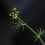 Anethum graveolens (Dill)