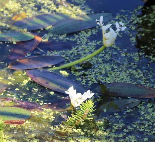 Water Hawthorn (Aponogeton distachyos (Water hawthorn))