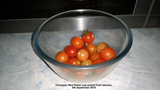 Tomatoes 'Red Robin' just picked from balcony 5th September 2018 (Solanum lycopersicum (Tomato))