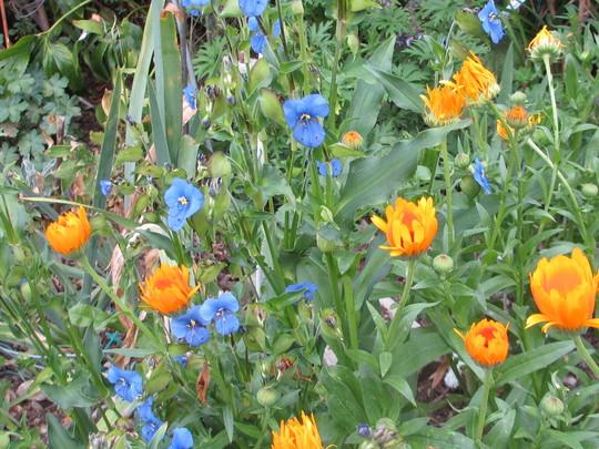 Commelina tuberosa (update for my File) (Commelina tuberosa)