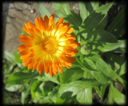 Calendula Oopsy Daisy