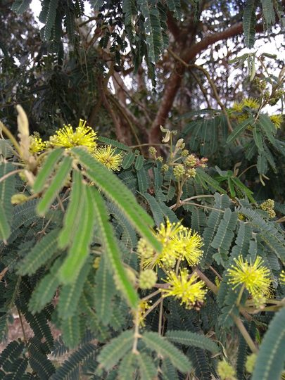 Bracatinga (Mimosa Scrabella)