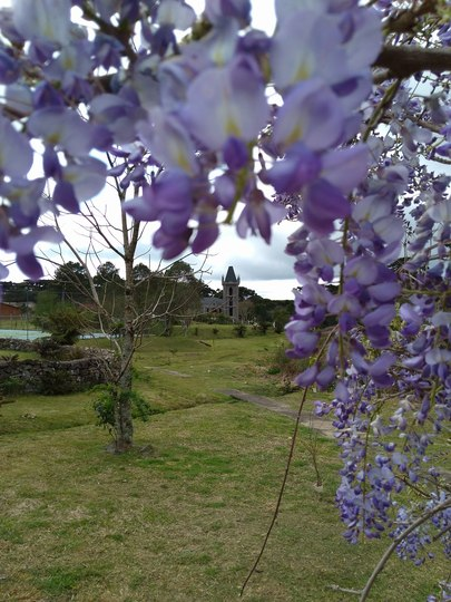 The last but not least (Wisteria floribunda (Japanese Wisteria))