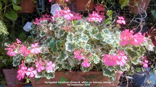 Variegated Geranium (Green & white) on balcony railings 1st September 2018 (Pelargonium zonal (Geranium))