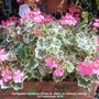 Variegated Geranium (Green & white) on balcony railings 1st September 2018 (Pelargonium zonal (Geranium))