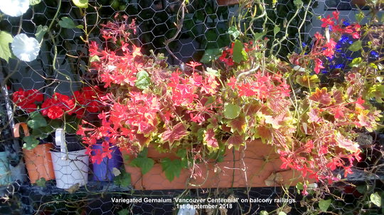 Variegated Geranium 'Vancouver Centennial' on balcony railings 1st September 2018