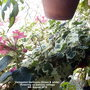 Variegated Geranium (Green & white) flowering on balcony railings 4th August 2018 (Pelargonium zonal (Geranium))