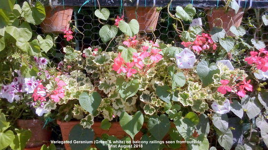 Variegated Geranium (Green & white) on balcony railings seen from outside 1st August 2018 (Pelargonium zonal (Geranium))