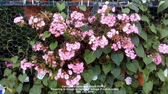 Variegated Geranium 'Black Prince' flowering in trough on balcony railings From outside 30th July 2018 (Pelargonium zonal (Geranium))