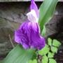 Closer look at Roscoea auriculata 'Floriade'