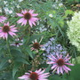 IMG 7749-hydrangea, asters and echinacea--it's autumn!