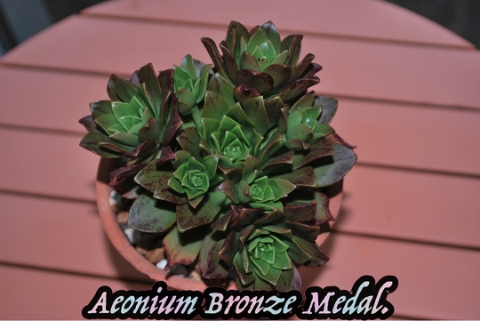 Aeonium Bronze Medal..... (Aeonium arboreum)