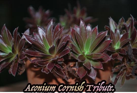 Aeonium Cornish Tribute.... (Aeonium)