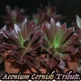 Aeonium_cornish_tribute..