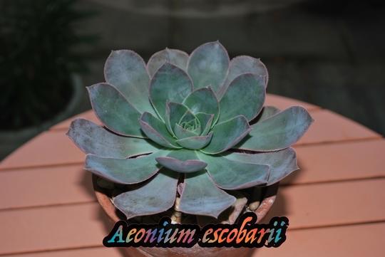 Aeonium escobarii.... (Aeonium escobarii)