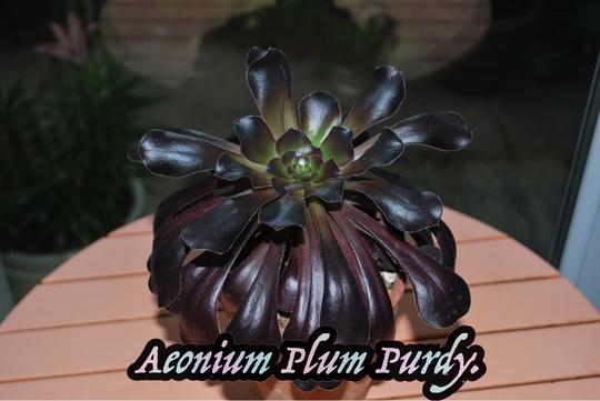 Aeonium Plum Purdy.... (Aeonium)