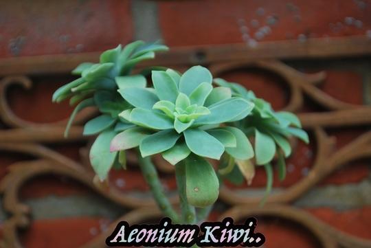 Aeonium Kiwi...