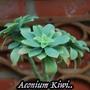 Aeonium_kiwi...
