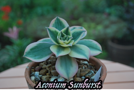Aeonium Sunburst.....