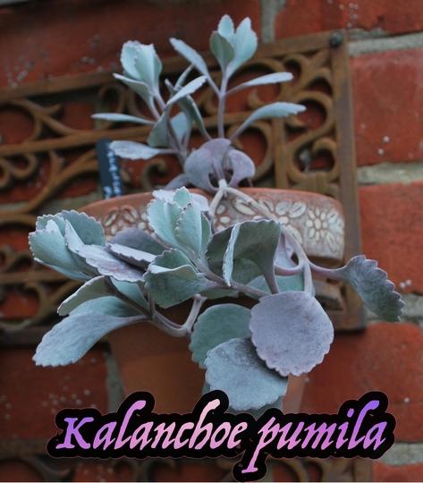 Kalanchoe pumila.. (Kalanchoe thyrsiflora)