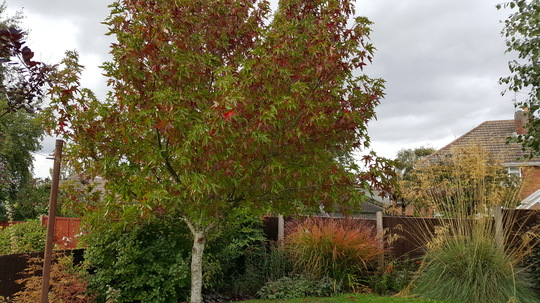 Autumn tints of Liquidambar and Miscanthus Ferner Osten