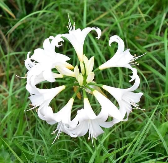 Amaryllis belladonna 'Fred Meyer White'