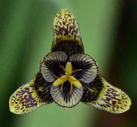 Tigridia vanhouttei (Tigridia vanhouttei)