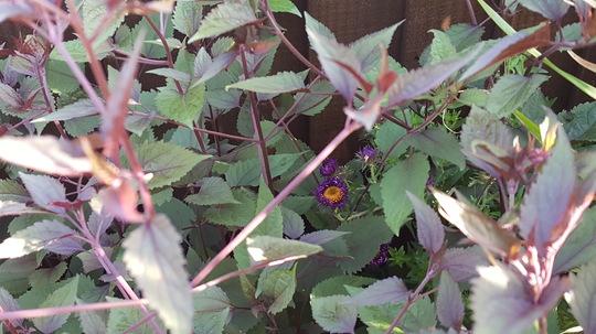 Aster Violetta hiding in Ageratina foliage