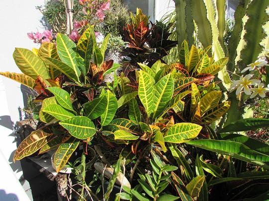 The Family Croton. (Codiaeum variegatum)