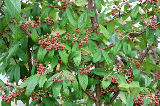 Cotoneaster  (Cotoneaster frigidus (Tree Cotoneaster))