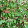 Cotoneaster  (Cotoneaster frigidus (Tree Cotoneaster))