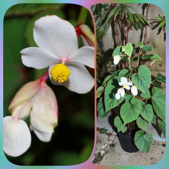 Begonia grandis evansiana alba... (Begonia grandis evansiana alba.)